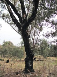Apple Box Eucalyptus bridgesiana