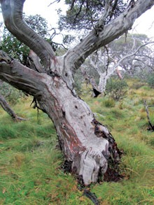 Snow gum/White Sally
