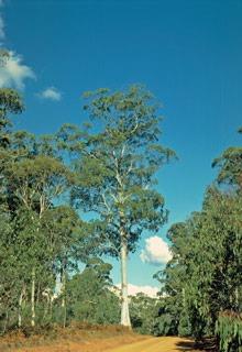 Mountain Gum Eucalyptus dalrympleana