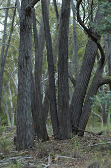 Red Stringybark
